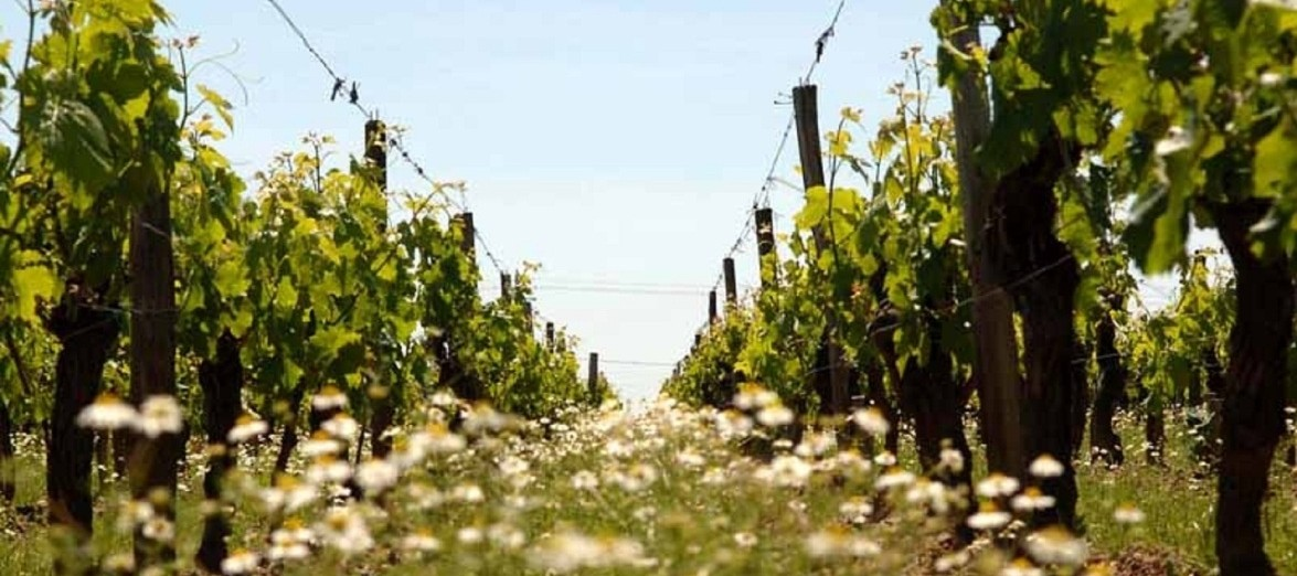 Bordeaux_Vineyard_Spring